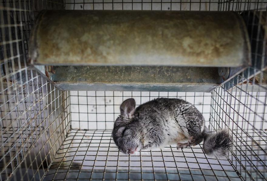 A Sleeping Chinchilla On A Fur Farm