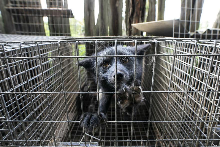 A Fox Making An Eye Contact During An Intervention On A Fur Farm