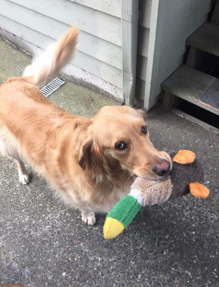 This Is Jasper. He Is My Neighbor's Dog. I Can't Leave The House Much Due To Health Issues, So Anytime He Sees Me He Runs Back Inside His House To Bring Me Back Out One Of His Favorite Toys. Today Was His Duck. His Record Is 3 Toys And A Stick, All At Once. What A Champ. Be Like Jasper