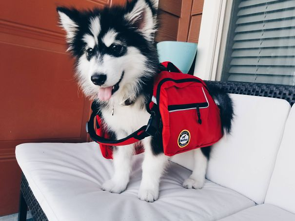 I Bought My Malamute Puppy A Hiking Pack, It Doesn't Quite Fit Him Yet
