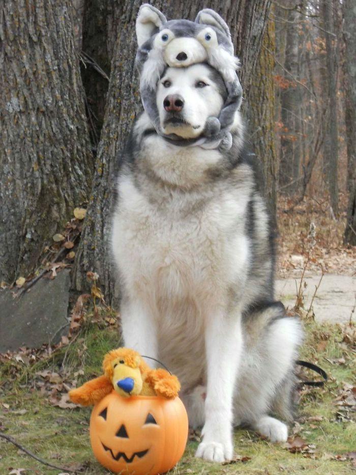 Tonka el malamute disfrazado de Husky por Halloween