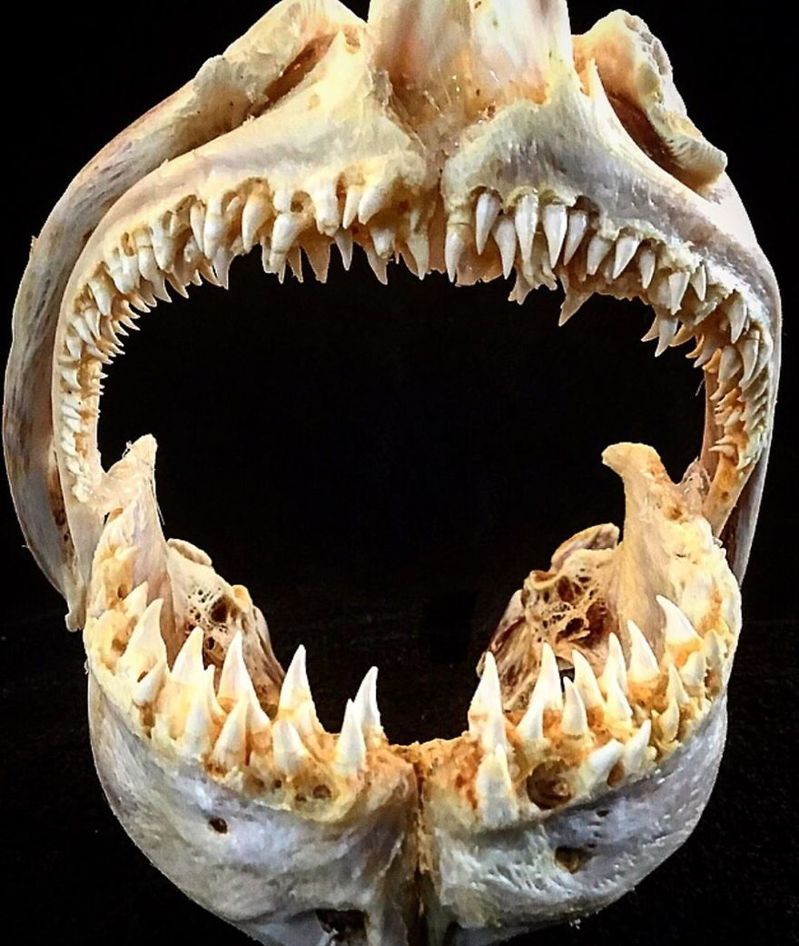 The Jaws Of A Huge Halibut That Weighed Over 200 Kg (440 Lbs)