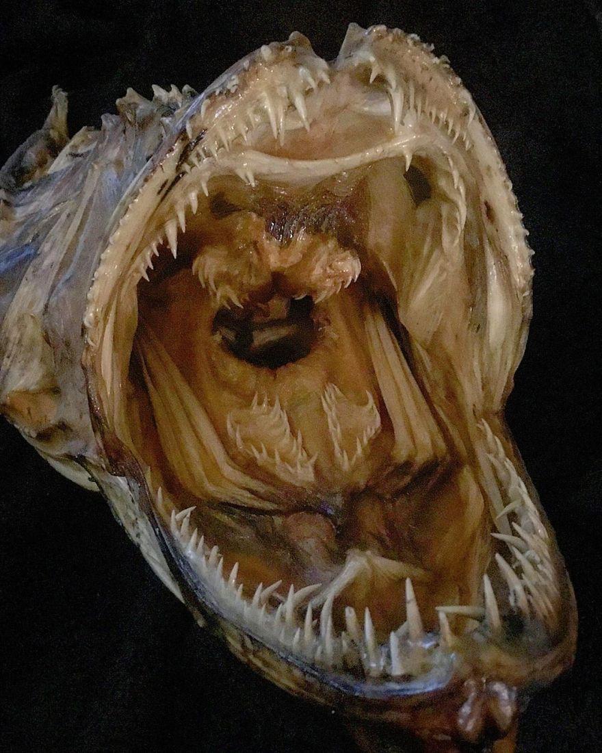 The Frightening Mouth Of A Huge Mummified Monkfish