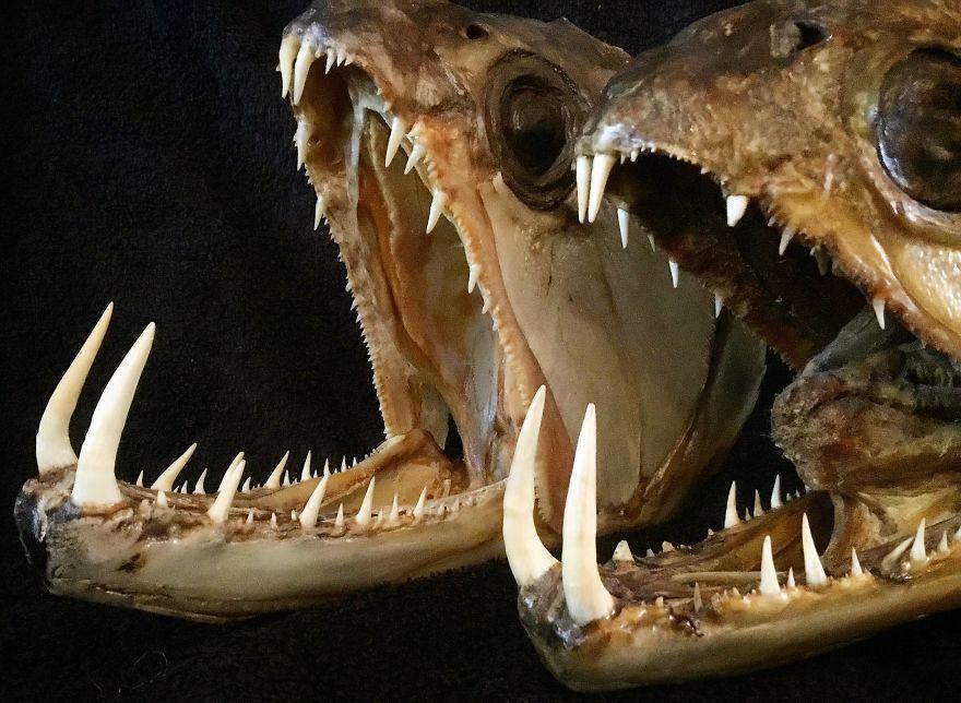 Two Huge Mummified Payara (Vampire Fish) Heads