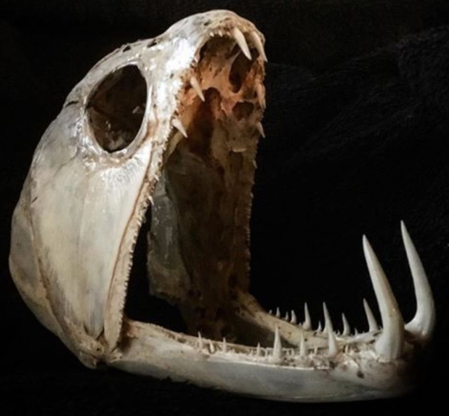 "A Payara (Vampire Fish) Skull, The Long Teeth Are Over 2"" (5 Cm) Long"