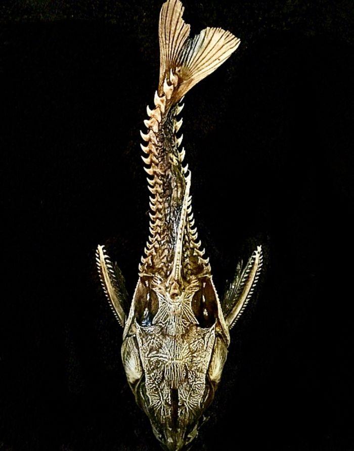 A Ripsaw Catfish