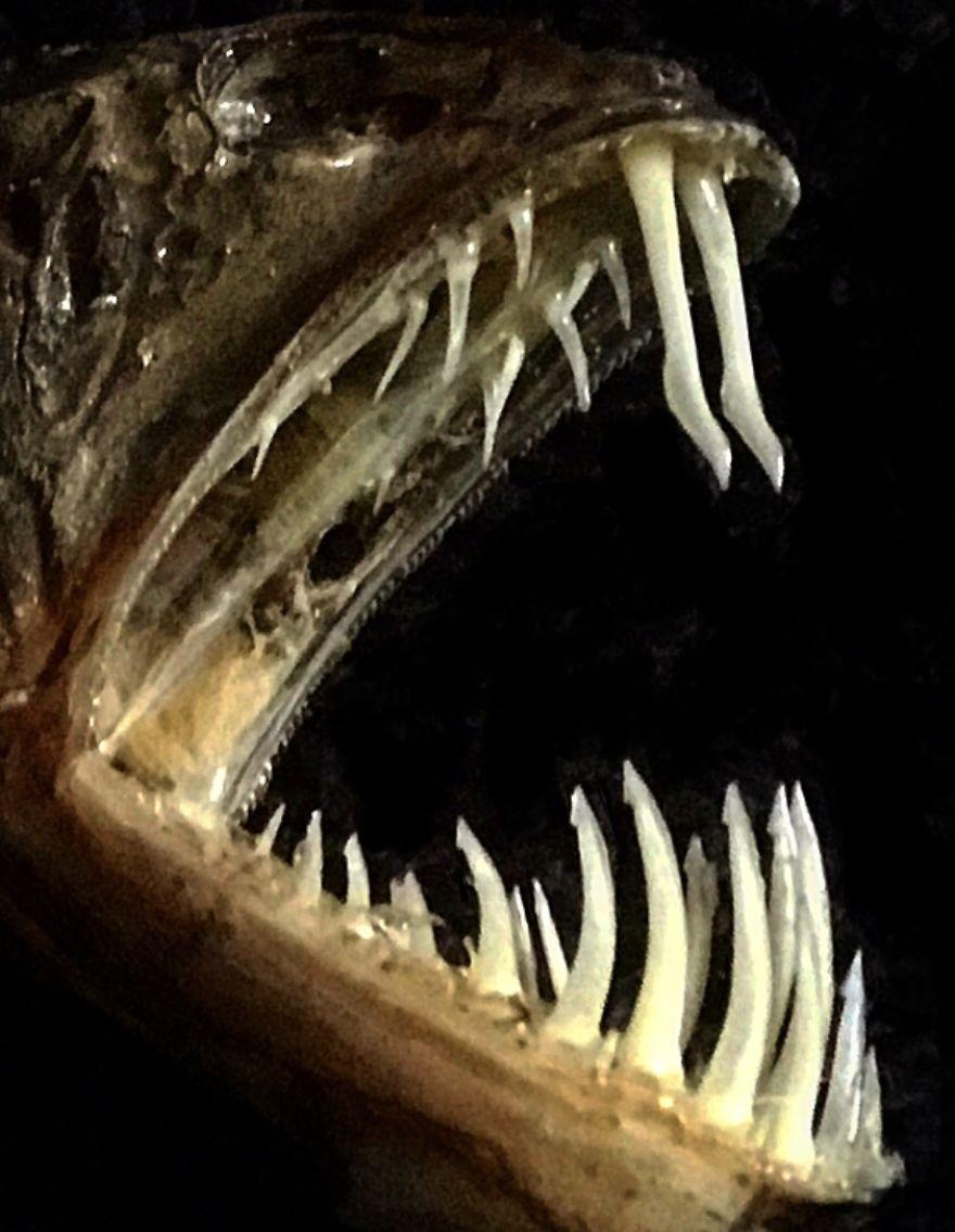 Deep-Sea Sabretooth Fish