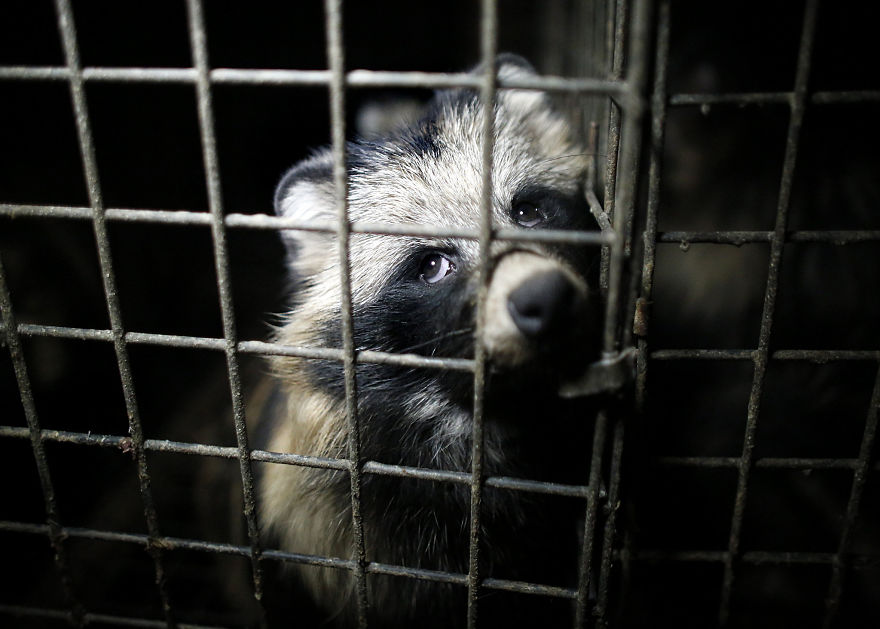 A Raccoon Dog, Fur Farm In Poland