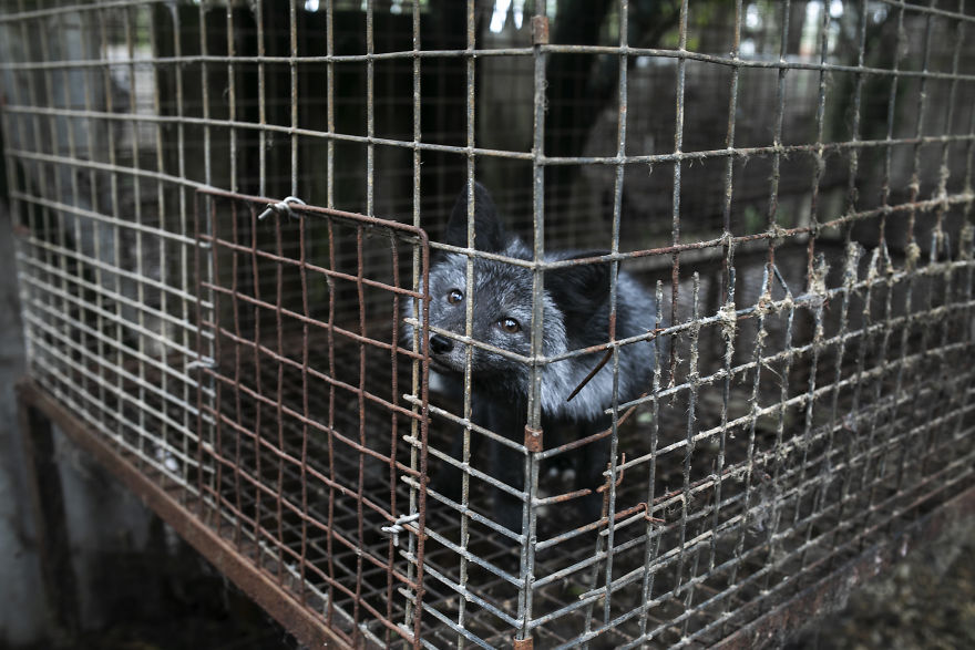 A Curious Fox On A Fur Farm, Looking At Activists