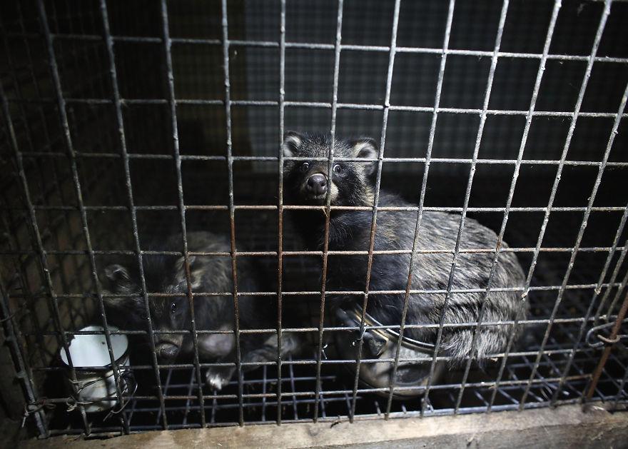 A Terrified Raccoon Dog, Fur Farm In Poland