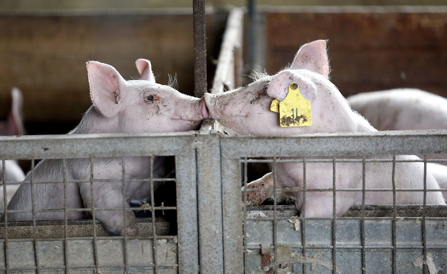 Pigs Consoling Each Other, Pig Farm