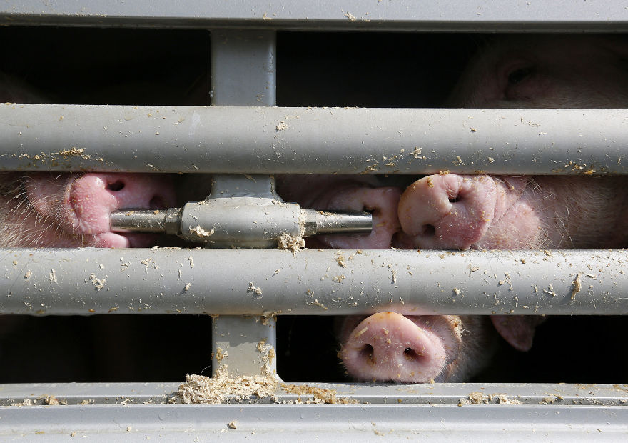 Pigs Going To Slaughter, Trying To Breathe Fresh Air For The First Time