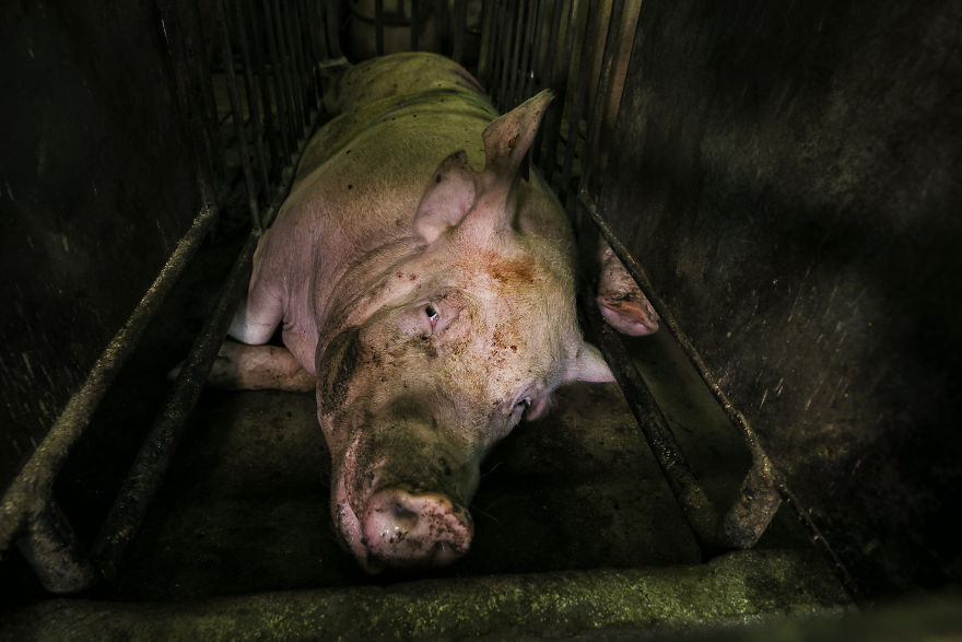 Sad And Lonely, Pig Farm