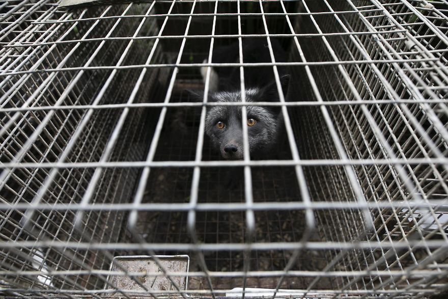 Terrified Fox, Waiting To Be Rescued, Fur Farm