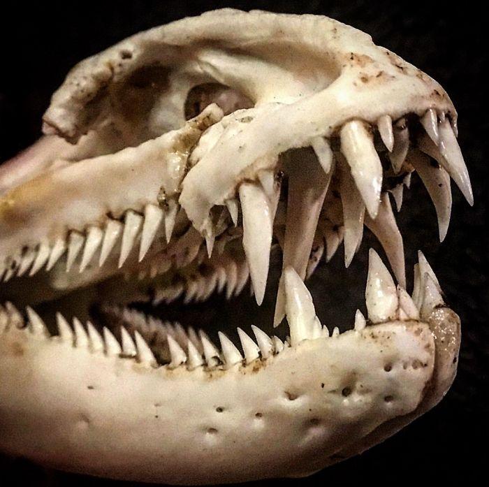 A Moray Eel Skull. Really Looks The Skull Of A Dinosaur