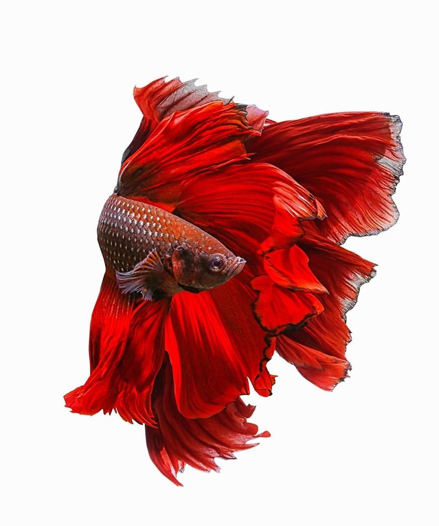 I Shoot Beta Fish With Amazing Colour And Character