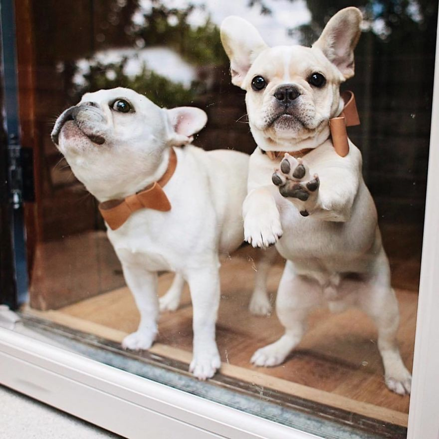 These Two Adorable French Bulldogs Will Make You Follow Them Now On Instagram