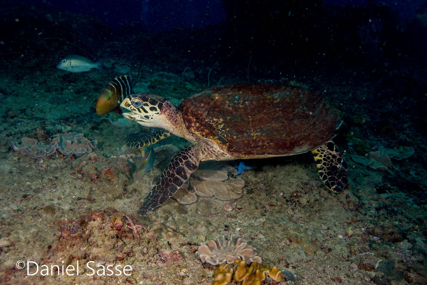 I Spent Hours Scuba Diving Photographing The Endangered Hawksbill Sea Turtles