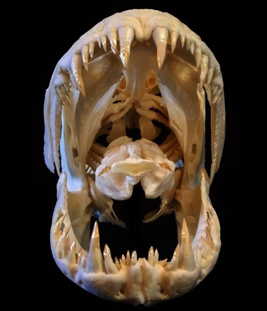An Anjoemara (Amazon Wolf Fish) Skull