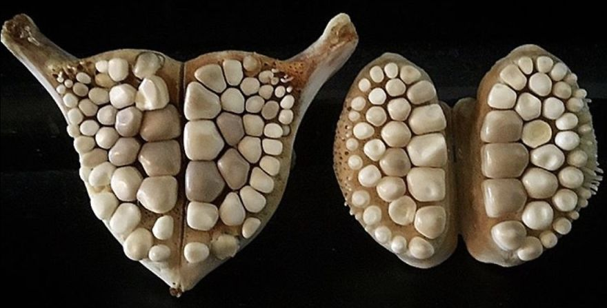 The Amazing Teeth Of The Blackdrum Fish