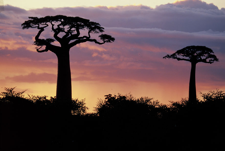 Famous Baobabs From Madagascar