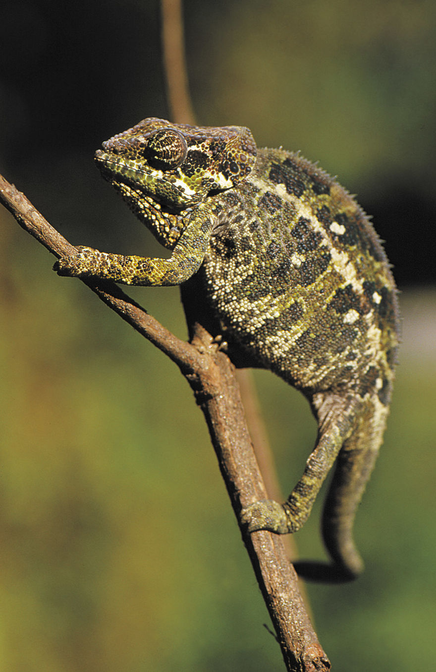 Madagascar Is Famous For Its Chameleons