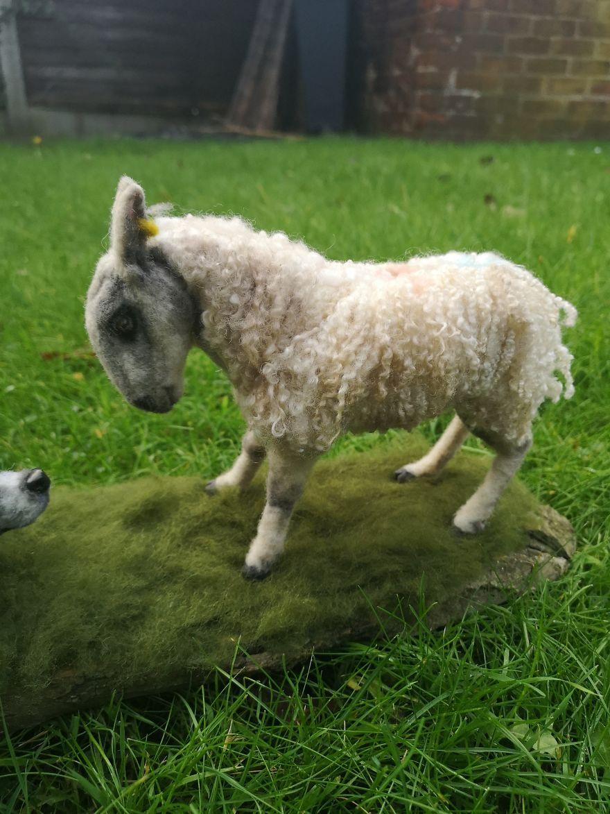 Blue Faced Leicester Sheep.