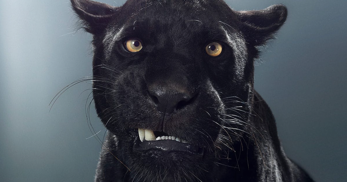 These Portraits Of Big Cats Reveal They All Have Different Characters (28 Pics)