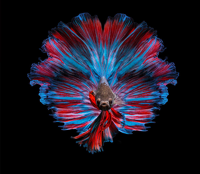 35 Serene and Calming Pictures I Captured Of Betta Fish