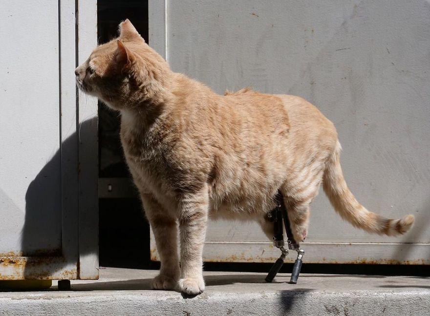 Bionic-Cat-Prosthetic-Legs-Vito