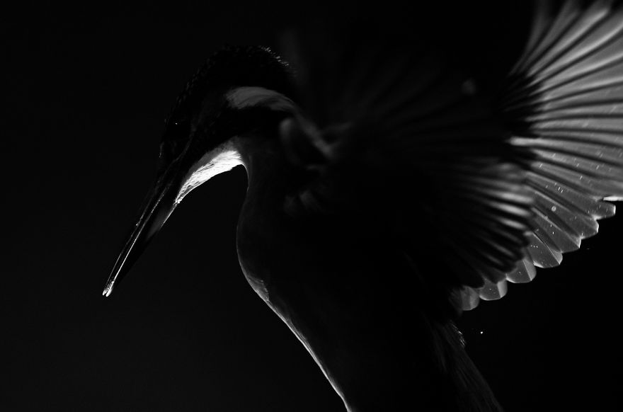 I Spent 35 Days Trying To Capture The Captivating Kingfisher (27 Pics)