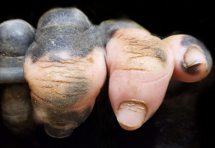 A Gorilla Born With A Lack Of Pigmentation On Her Fingers Surprises People