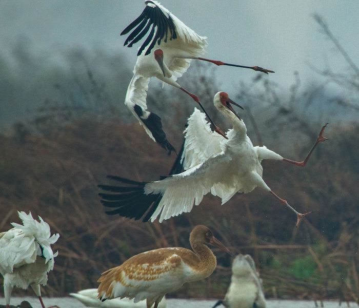 I Captured The Awe-Inspiring Moments Of Siberian Cranes