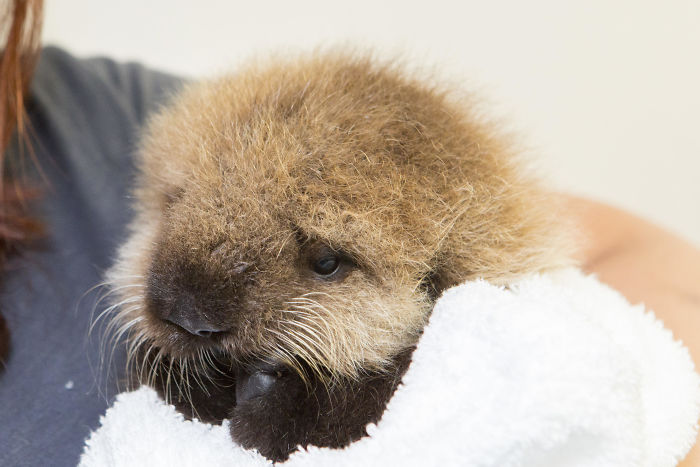 Cute-Baby-Sea-Otters