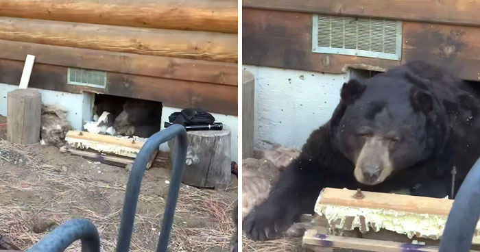 This Family Was Shocked To Find That A Giant Bear Has Moved In Under Their House