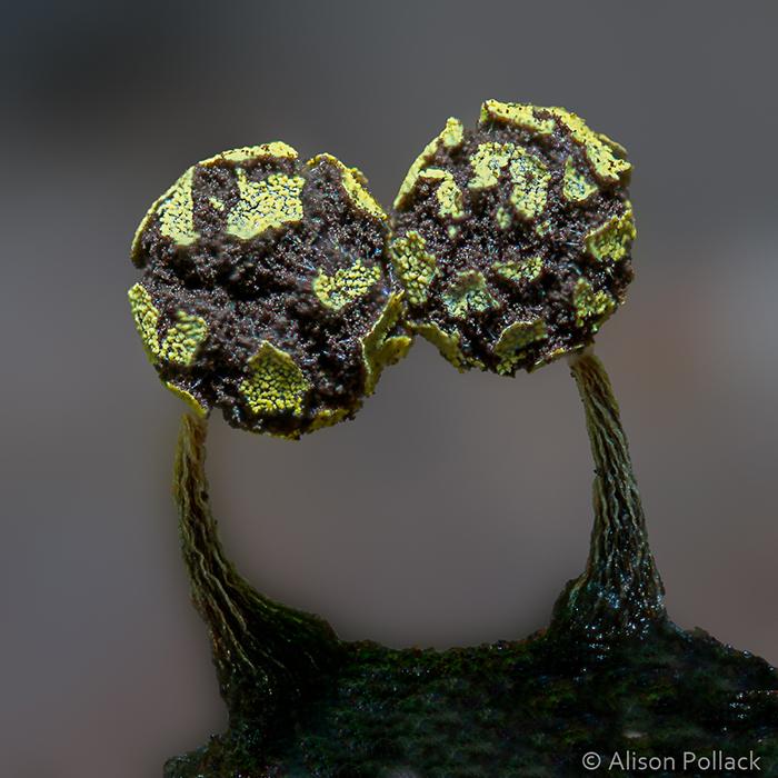 Physarum Viride (Mission Springs)