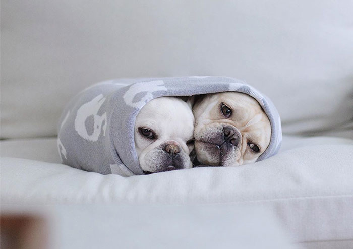 Meet This Adorable Pair Of French Bulldogs That Are Impossible Not To Love (58 Pics)