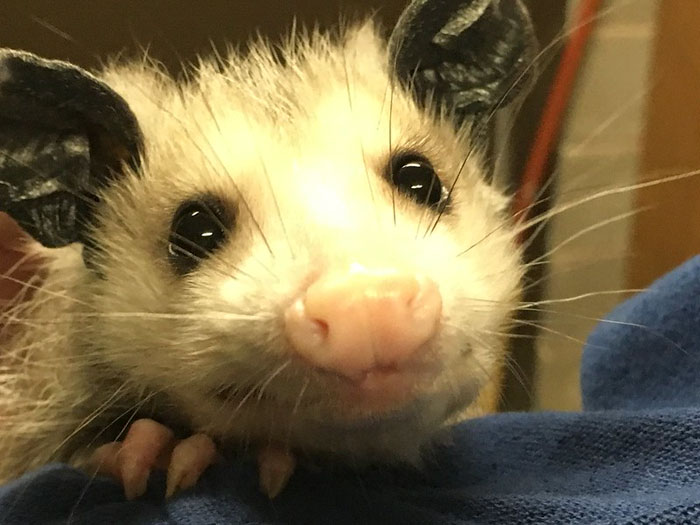 Woman Lets An Elderly Possum Stay In Her Garage, Her Nephew Posts Pic Online And It Goes Viral