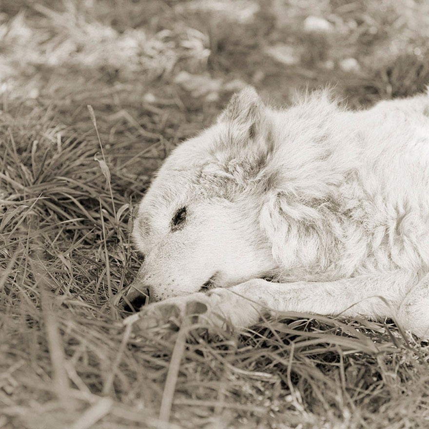 Kiri, Great Plains Wolf, Age 17
