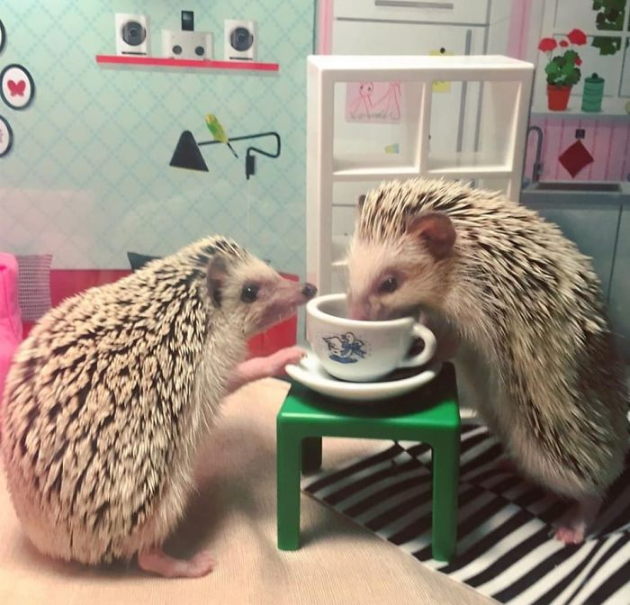 My Hedgehogs Eating Mealworms From A Tiny Thrift Shop Teacup