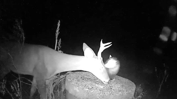 Trail Cam Accidentally Captured The Moment An Opossum Helped A Deer By Picking Ticks Off Its Face