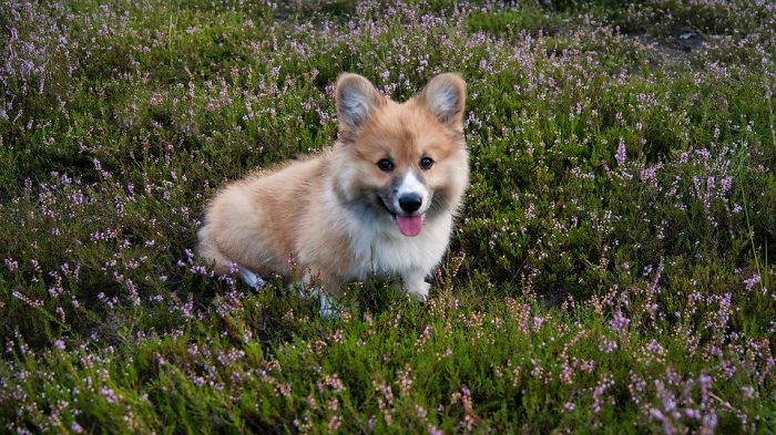 In Welsh Folklore, Corgis Were The Preferred Method Of Transportation For Fairies