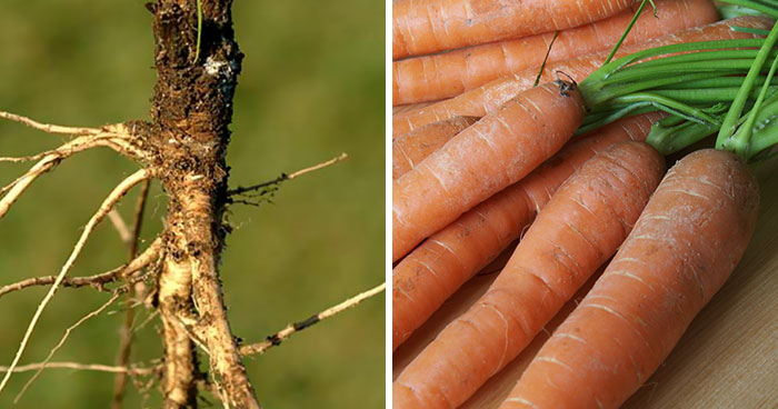 Here Are 8 Pictures Of Fruit And Vegetables Before They Were Domesticated By Humans And After