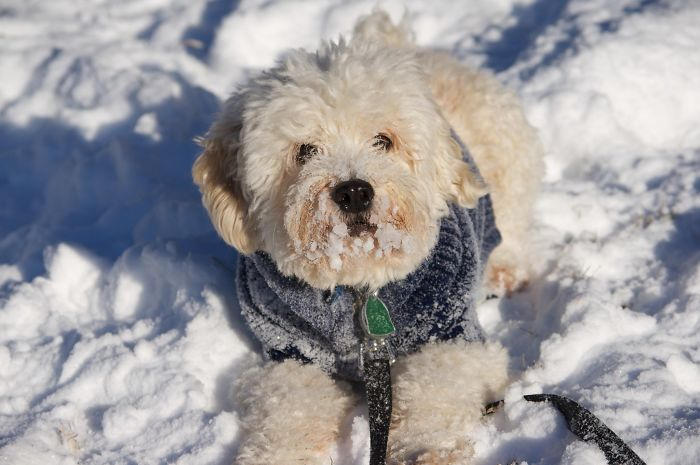 Dogs That Are Elderly, Small Or Short-Haired Actually Need Sweater For Cold Temperatures