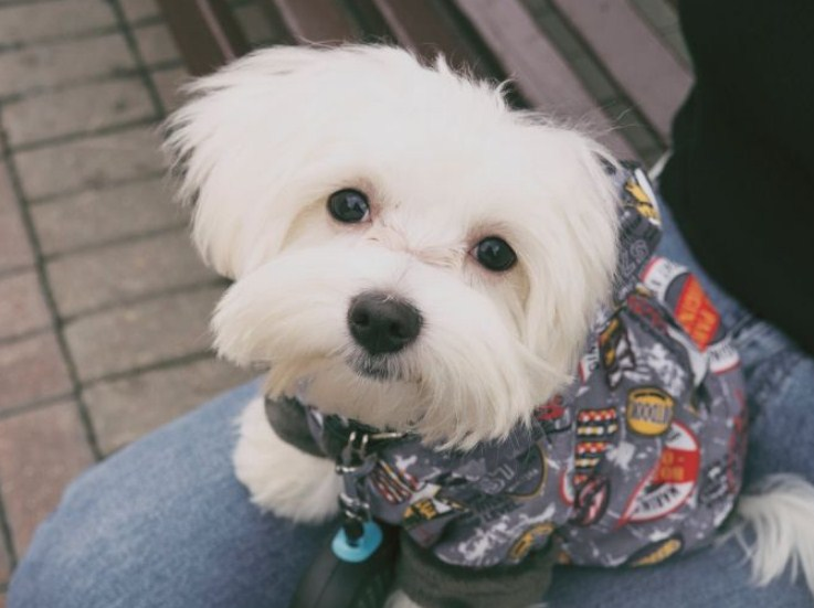 15 Most Adorable and Cutest Maltese Mixes (Cross Breeds Doggies)