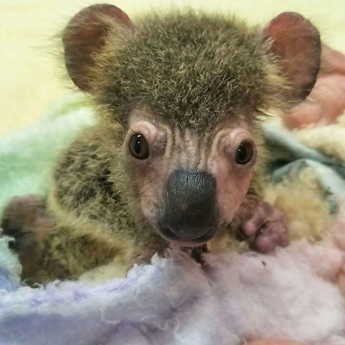 Спасенная коала