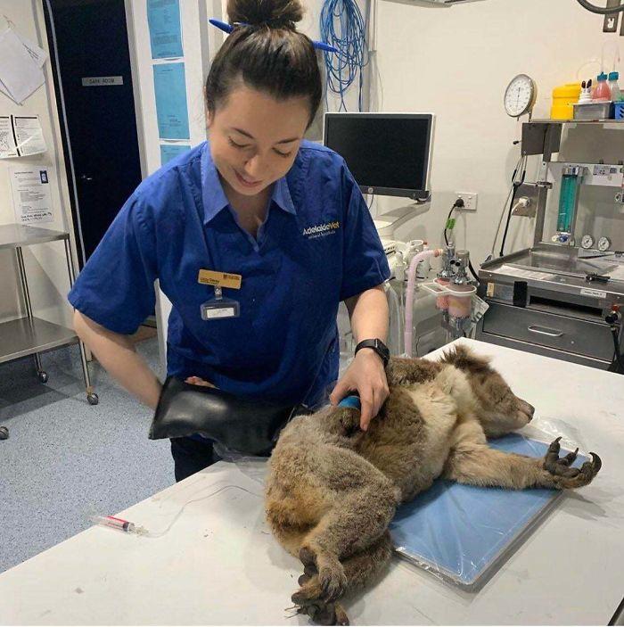 Lucky Koala Is Saved From Sa Bushfires