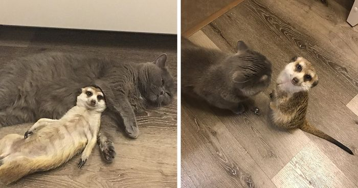 A Meerkat And A Cat Became BFFs On Day One, And Together They Conquered The Hearts Of People On Instagram