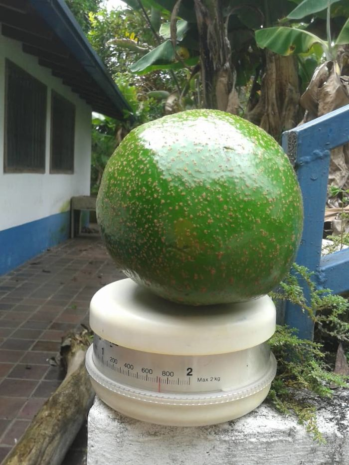 This Nearly 2 Kg Avocado From My Grandmother's Place