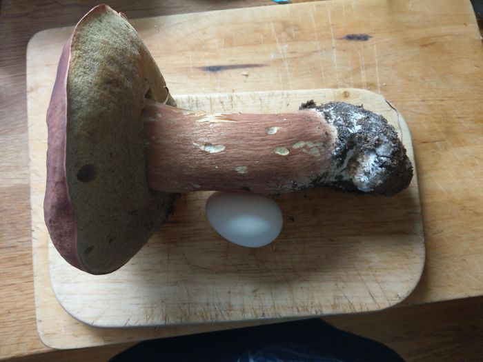 Mushroom My Dad Found In The Forest. Egg For Scale